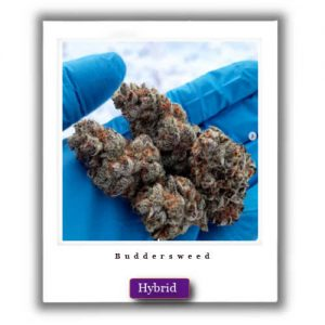 Mail order Blissful Wizard Hybrid Marijuana Strain