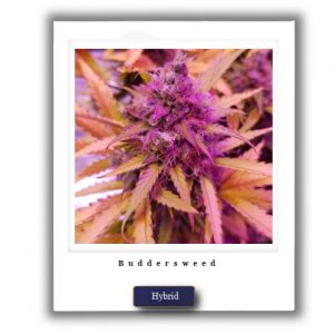 Weed for sale cheap-Mail order high THC Indica Blue Dreams Strain