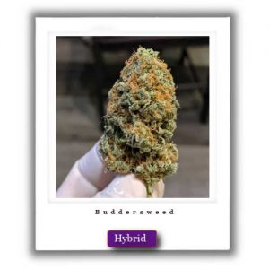 Buy Online Discreet and Safe-Cheese Kush Hybrid Marijuana Strain