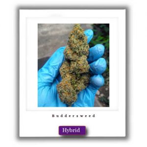 Best Weed Deals-Cheese Kush Hybrid Marijuana Strain