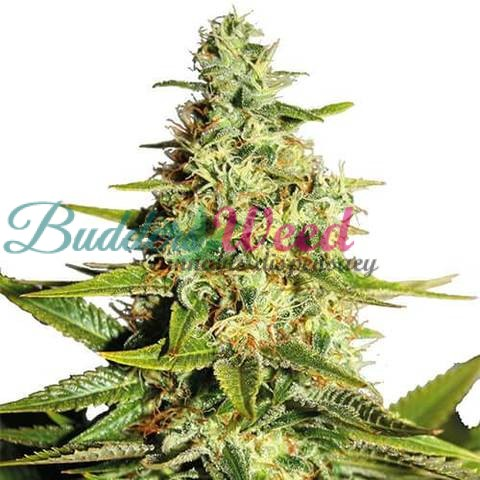 Blue Dream Marijuana Seeds (Fem)